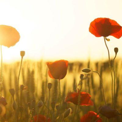 poppies-174276_1920-2